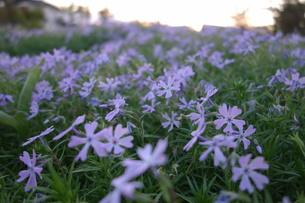 芝桜の丘の素材 [FYI00244382]