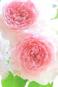 ピンクの薔薇ヒカルのアップ2の写真素材 [FYI00244507]