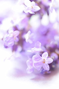 ラベンダーの花のぼかしアップ縦構図の写真素材 [FYI00244537]
