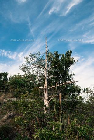 枯れ木と筋雲の素材 [FYI00244576]