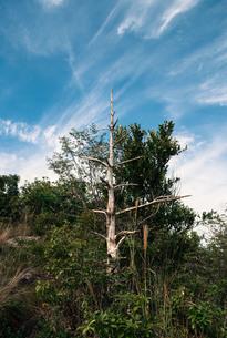 枯れ木と筋雲の写真素材 [FYI00244576]