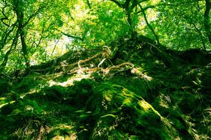 苔生した森の写真素材 [FYI00244578]