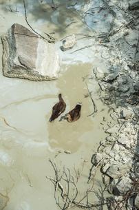汚水で餌を探すカモの写真素材 [FYI00244609]