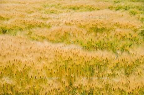 大麦畑の素材 [FYI00244638]