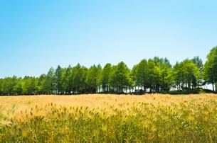 大麦畑と並木の写真素材 [FYI00244639]