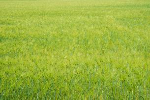 大麦畑の素材 [FYI00244644]