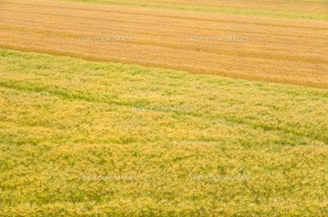 大麦畑の素材 [FYI00244647]
