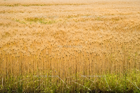 大麦畑の素材 [FYI00244648]