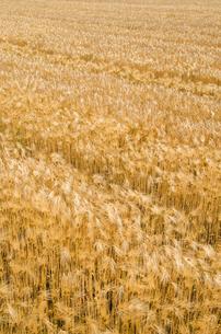 大麦畑の素材 [FYI00244653]