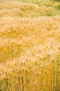 大麦畑の素材 [FYI00244655]