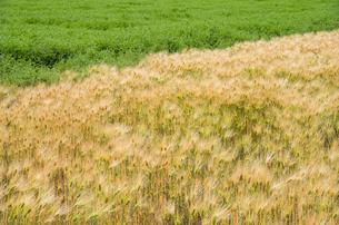 大麦畑の素材 [FYI00244656]