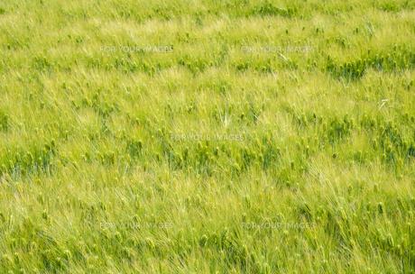大麦畑の素材 [FYI00244657]