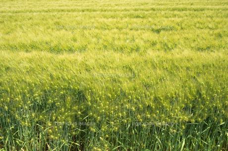 大麦畑の素材 [FYI00244663]