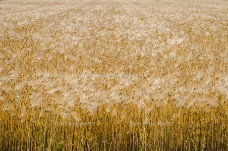 大麦畑の素材 [FYI00244669]