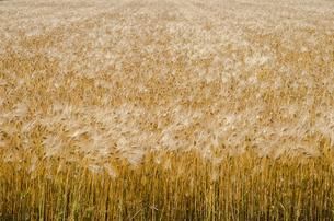 大麦畑の写真素材 [FYI00244669]