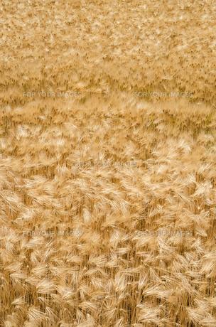 大麦畑の素材 [FYI00244671]