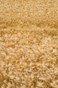 大麦畑の写真素材 [FYI00244671]