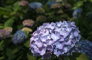 紫陽花の素材 [FYI00244673]