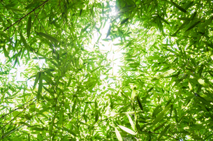 見上げた竹林の素材 [FYI00244706]