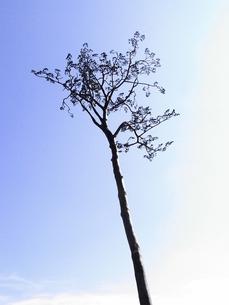 奇跡の一本松の写真素材 [FYI00244769]