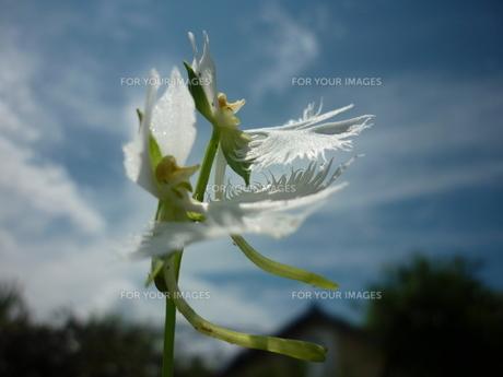 大空を飛ぶ2羽のサギの素材 [FYI00244792]
