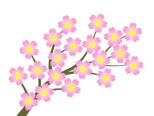 桜の花の写真素材 [FYI00245030]