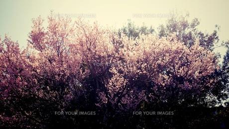 満開の桜の素材 [FYI00245592]