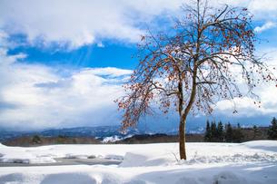 雪晴れの残り柿の素材 [FYI00245774]
