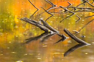 紅葉と雨の波紋が映り込む池の水面の素材 [FYI00245781]