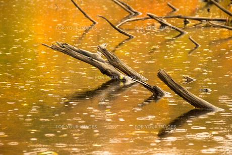 紅葉と雨の波紋が映り込む池の水面の素材 [FYI00245805]