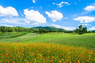 長岡市・農業ふれあい公園 キバナコスモスの咲く緑の丘の素材 [FYI00245824]