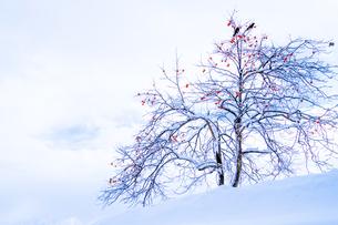 雪の中の残り柿の素材 [FYI00245842]