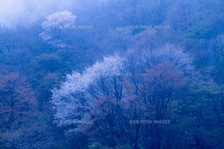 日本画調 雨に霞むヤマザクラの咲く風景の素材 [FYI00245955]