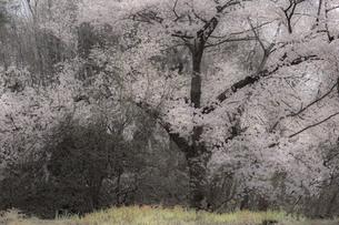 日本画調 雨に煙る満開の一本桜の素材 [FYI00245960]