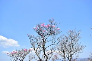 アカヤシオの写真素材 [FYI00246020]
