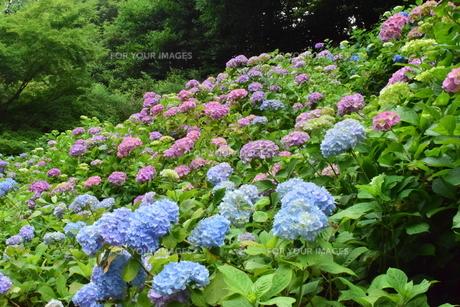 紫陽花の大合唱の写真素材 [FYI00246041]
