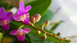 胡蝶蘭咲くのが楽しみ。つぼみが沢山出来たね。の写真素材 [FYI00247113]