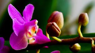 朝日のを光を浴びながら咲き誇る胡蝶蘭の写真素材 [FYI00247128]