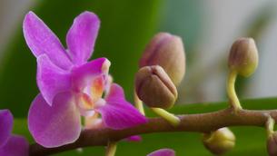 鮮やかに咲く胡蝶蘭の写真素材 [FYI00247131]
