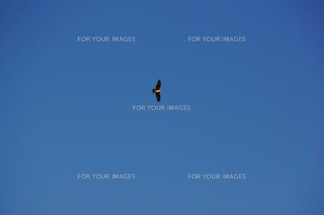 大空を優雅に飛ぶトンビの写真素材 [FYI00247147]