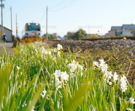 線路脇に咲いたスイセンと列車の写真素材 [FYI00247159]