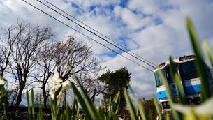 線路脇に咲いたスイセンの脇を走り抜けて行く特急列車の写真素材 [FYI00247167]