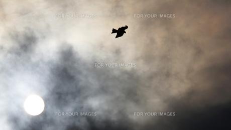 幻想的。太陽を背に受けて優雅に飛んで行く鳶の写真素材 [FYI00247179]