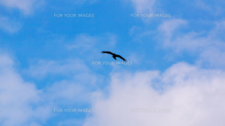 大空を自由に飛んで行く鳶の写真素材 [FYI00247182]