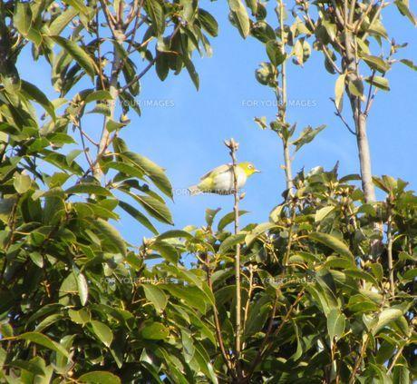 散歩中、木にしがみついているメジロを発見の写真素材 [FYI00247195]