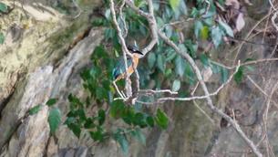 木の枝から様子を伺うカワセミの写真素材 [FYI00247201]