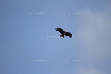 餌を食べながら飛ぶ鳶の写真素材 [FYI00247226]
