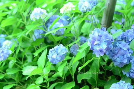紫陽花とトンボの写真素材 [FYI00247229]