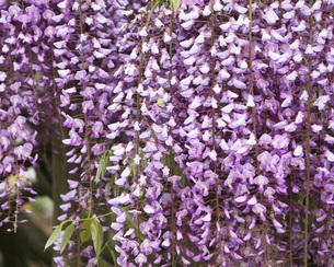 藤の花の写真素材 [FYI00247240]