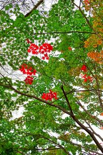 もみじの葉の移り変わりの写真素材 [FYI00247244]